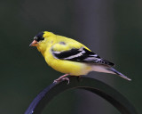 American Goldfinch - Spinus tristis (male)