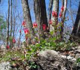 Wild Columbine - Aquilegia canadensis