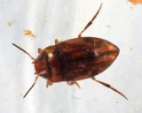Liodessus crotchi
