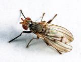 Pherbellia tenuipes