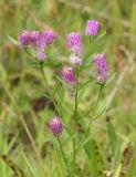 Field milkwort (purple milkwort) - Polygala sanguinea