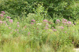 Joe Pye Weed (Eupatorium sp.) and Asters