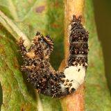 Viceroy caterpillar - Limenitis archippus