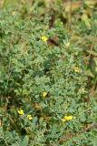 Wild Indigo - Baptisia tinctoria