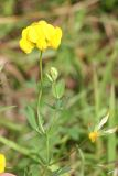 Common Birdsfoot-trefoil - Lotus corniculatus