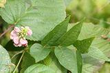 Groundnut - Apios americana
