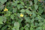 Balsam, touch-me-not; Balsam, yellow Impatiens noli-tangere