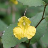 Balsam, touch-me-not; Balsam, yellow Impatiens noli-tangere