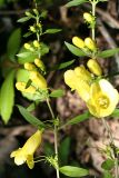 Downy False Foxglove - Aureolaria flava