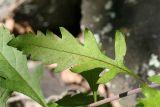 Downy False Foxglove - Aureolaria flava