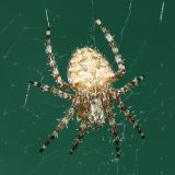 Barn Spider - Araneus cavaticus