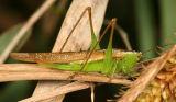 Slender Meadow Katydid - Conocephalus fasciatus (female)