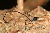 Pelecinid Wasp - Pelecinus polyturator