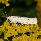2420.1 Spindle Ermine Moth - Yponomeuta cagnagella