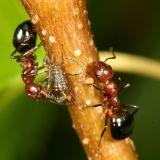 Dolichoderus mariae  (tending aphids)