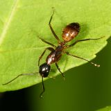 Camponotus  americanus (minor worker)