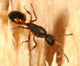 Dolichoderus plagiatus (queen)