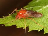 Clinotanypus cf. wirthi