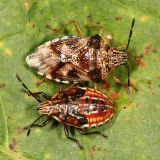 adult and nymph - Elasmucha lateralis