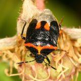 Twice-stabbed Stink Bug - Cosmopepla lintneriana