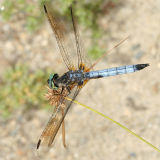 Blue Dasher - Pachydiplax longipennis (male)