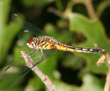 Blue Dasher - Pachydiplax longipennis (female)