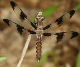 Common Whitetail - Libellula lydia (female)