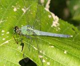 Eastern Pondhawk - Erythemis simplicollis