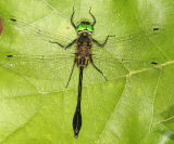 Racket-tailed Emerald - Dorocordulia libera