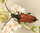 Stictoleptura canadensis (red form)