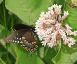 Black Swallowtail - Papilio polyxenes
