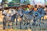 Pick 1 Zebra