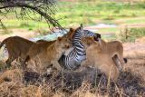 How To Eat A Zebra In 40 Minutes