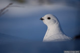 Willow Ptarmigan - Pernice bianca nordica - Moorschneehuhn -  Lagopus lagopus
