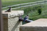 Young Mountain Blue Birds