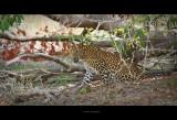 Leopard - Wilpattu, Sri Lanka
