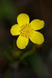 Ranuculus occidentalis