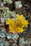 Sedum spathulifolium