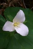 Trillium ovatum