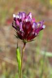 Trifolium willdenovii