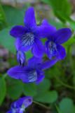 Viola howellii