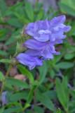 Penstemon fruticosus