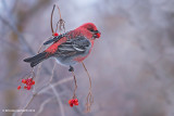 Grosbeak, Finches, Siskins, Crossbills and House Sparrows
