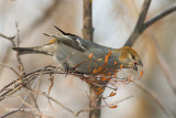 Pine Grosbeak, female