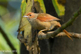Woodcreepers, Gleaners, Spinetail and Becards