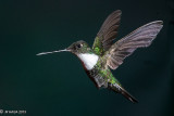Hummingbirds at Guango Lodge