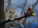 Mirabel - cherry plum