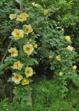'Aicha'  Pimpinellifolia-rose