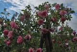 Rosa 'Applejack'