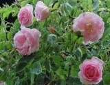 Rosa 'Celestial' - Albarose